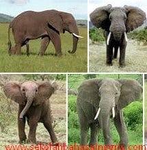 Contoh Descriptive Text Tentang Gajah Beserta Artinya
