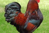 """Penjelasan Lengkap """"Chick vs Chicken vs Hen vs Cock"""" Dalam Bahasa Inggris Beserta Contoh"""
